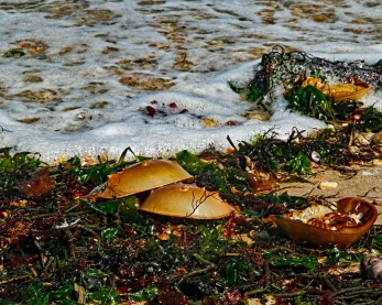 Horseshoe Crab Washed up with Seaweed