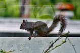 Squirrel with Warbbles 3 Compressed