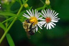 Bumblebee Sleeping on Aster