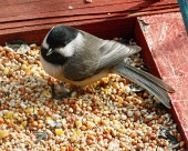 Chickadee on Feeder En
