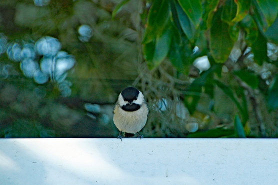 Chickadee on Fence P