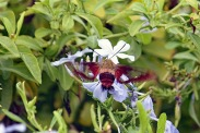 Clear Wing Hummingbird Moth 3 compressed