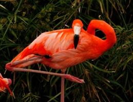 Flamingo 3 c