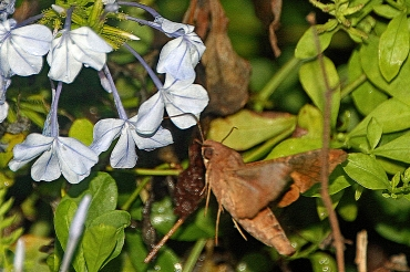 Hummingbird Moth 20