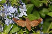 Hummingbird moth 21