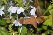 Hummingbird Moth 22