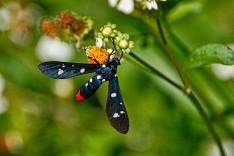 Oleander Moth