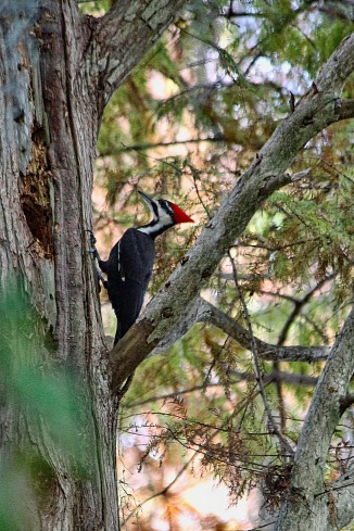 Pileated Woodpecker on Tree Trunk