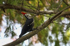 Pileated Woodpecker Pecking
