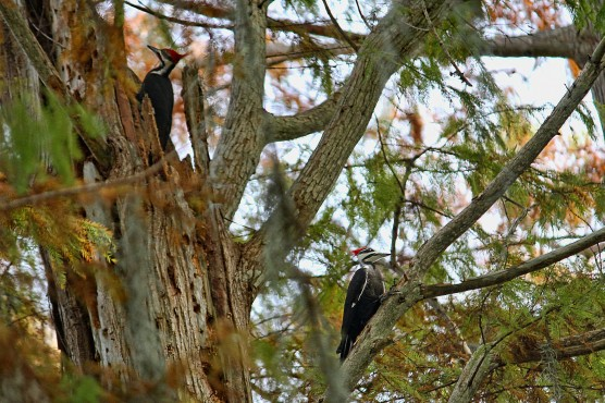 Pileated Woodpeckers in Tree