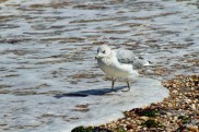 Ring-billed Gull in Surf