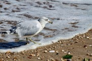 Ring-billed Gull in Surf