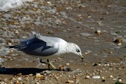 Ring-billed Gull Searching