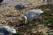 Ring-billed Gull Searching Wrack