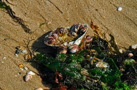 Slipper Shells are often washed up in the wrack line along with seaweeds and other shells.
