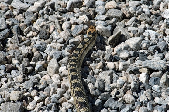 Great Basin Gopher Snake