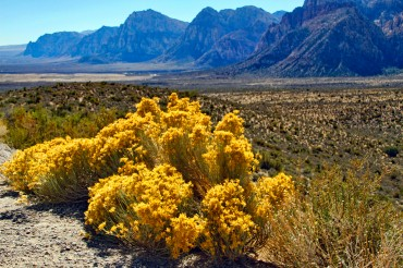 Red Rock 36 Rabbitbrush