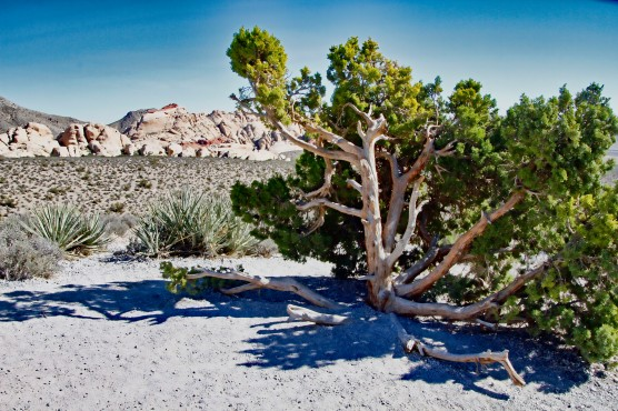 Red Rock Juniper