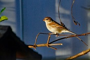Chipping Sparrow on Tiny Branch compressed