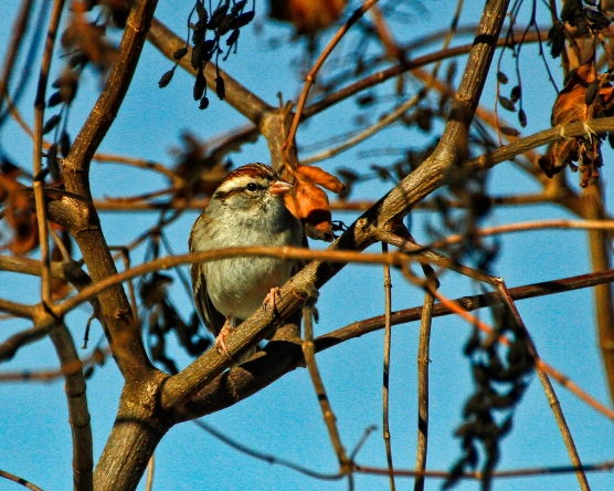 Chipping Sparrow Perch