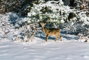 Deer in Snow 4