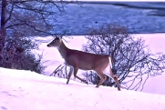 Deer in Snow Walking