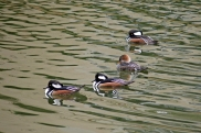 Hooded Merganser Flock