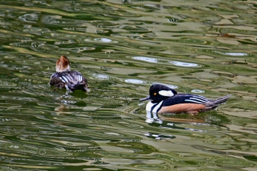 Hooded Mergansers in Water