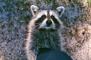 Raccoon on leg PS