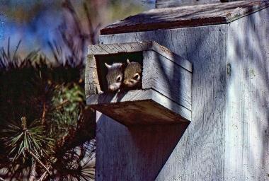 Squirrels in Wood Duck Box