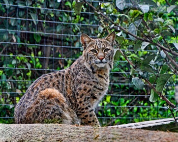 Wild Cats In Florida Naturechirp