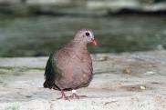 Common Emerald Dove 3 compressed