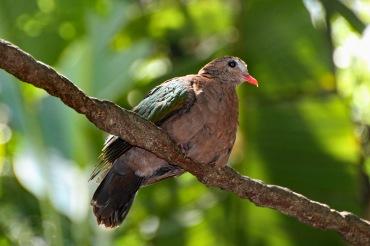 Common Emerald Dove 4 compressed
