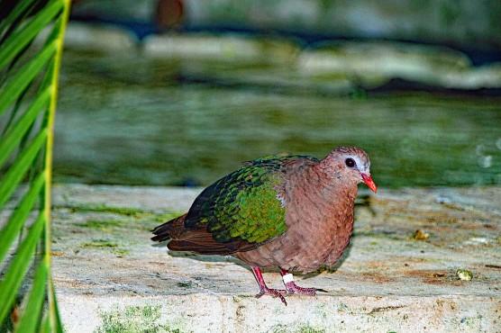 Common Enerald Dove 2 compressed