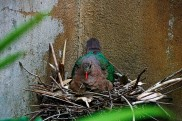 Nicobar Pigeon Nesting