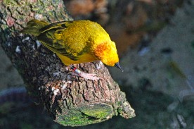 Taveta Golden Weaver 2 compressed