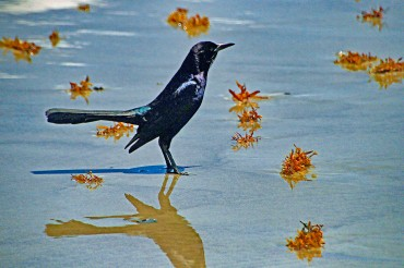 Boat-tailed Grackle at Seashore