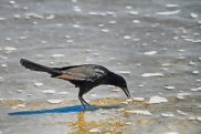 Boat-tailed Grackle at Seashore with Food