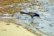 Boat-tailed Grackle Edge