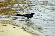Boat-tailed Grackle Wading