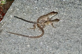Brown Anole Lizards Mating
