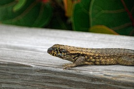 Curly Tailed Lizard Close up compressed
