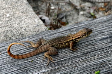 Curly Tailed Lizard on Post