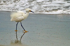 Snowy Egret at Beach 13