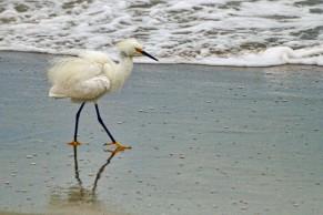 Snowy Egret at Beach 13