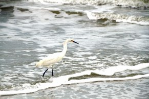 Snowy Egret at Beach 14