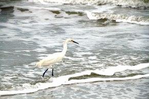 Snowy Egret at Beach 14
