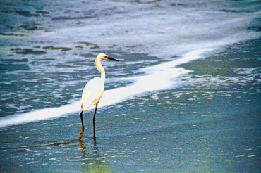 Snowy Egret at Beach