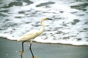 Snowy Egret at Beach 5