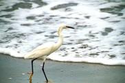 Snowy Egret at Beach 5